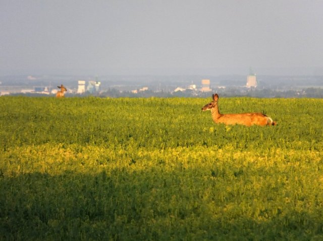 Deer Rycroft